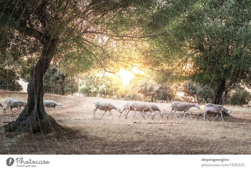 Flock of sheep at sunset Sky Nature Summer Beautiful Sun Tree Landscape Animal Forest Mountain Meadow Autumn Grass Vantage point Hill Pasture