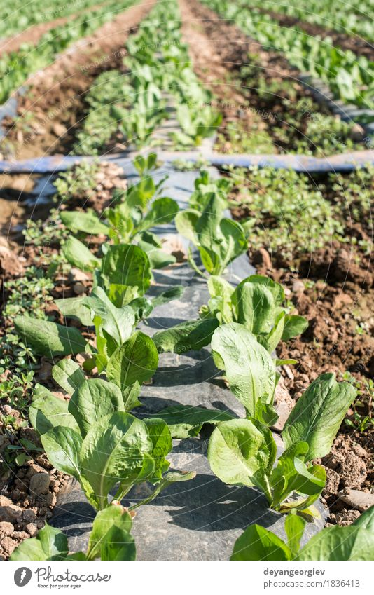 Lettuce field in rows. Vegetable Vegetarian diet Summer Nature Landscape Plant Earth Leaf Growth Fresh Green lettuce Farm agriculture Produce food healthy Salad