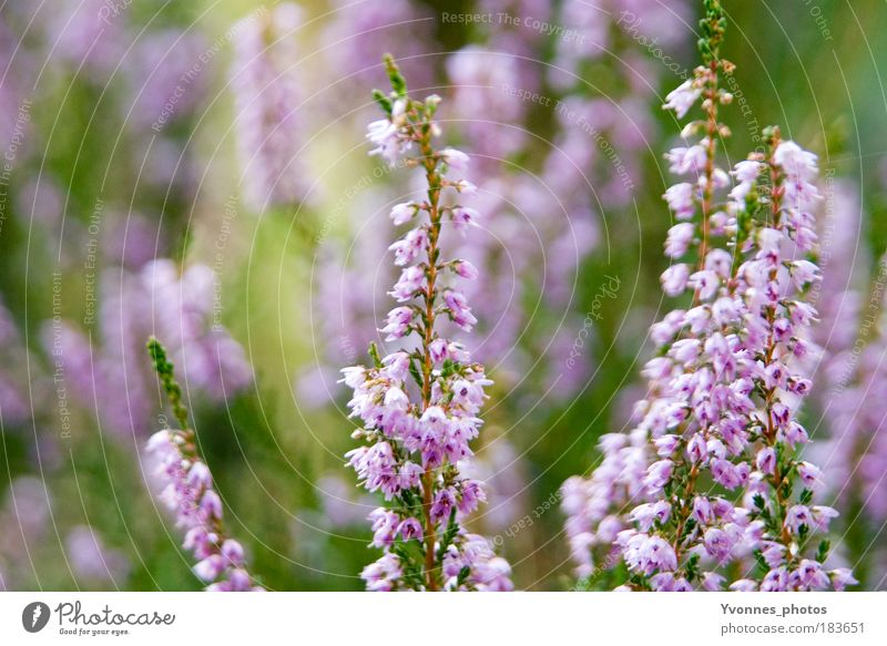 Nature Beautiful Flower Green Plant Calm Autumn Meadow Park Contentment Moody Pink Environment Growth Bushes Violet