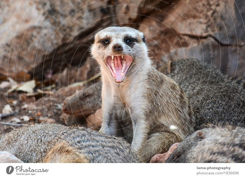 Attack! Safari Expedition Namibia South Africa Animal Meerkat 1 Aggression Fear Anger Aggressive Snarl Muzzle Colour photo Animal portrait