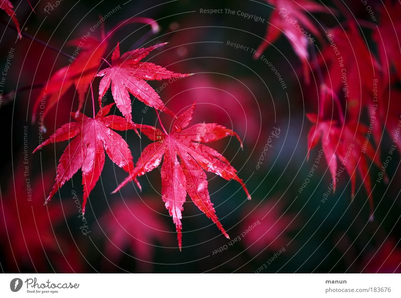 Nature Beautiful Tree Plant Red Calm Leaf Life Relaxation Autumn Exterior shot Colour photo Light Style Park