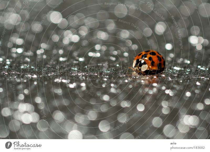 Nature Red Black Animal Metal Small Environment Insect Point Wild animal Steel Macro (Extreme close-up) Ladybird Beetle
