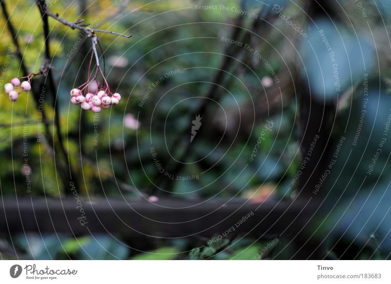 Plant Dark Autumn Garden Pink Hope Gloomy Bushes Transience Uniqueness Wild Discover Past Fence Hang Berries