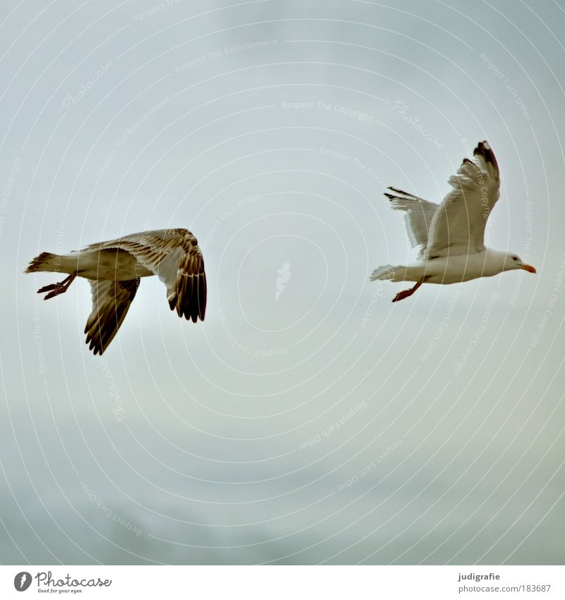Sky Ocean Animal Freedom Contentment Bird Coast Flying Wing Natural Wild animal Baltic Sea Seagull Judder Silvery gull