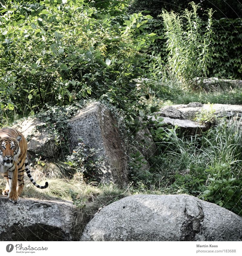 Nature Calm Animal Mountain Cat Fear Rock Safety Esthetic Bushes Animal face Threat Wild Pelt Curiosity Wild animal