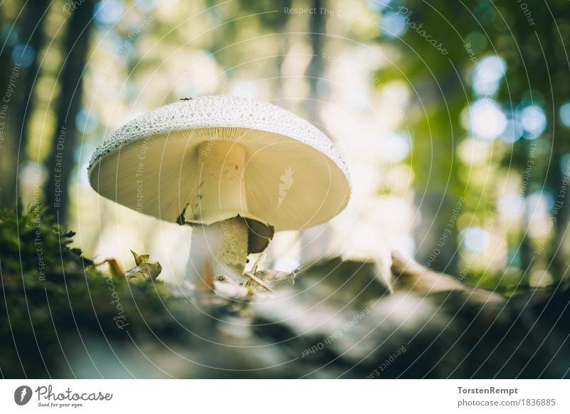 pearl fungus Environment Nature Summer Autumn Esthetic Crazy Blusher amanita edible mushroom edible mushrooms forest mushroom forest mushrooms Ecological