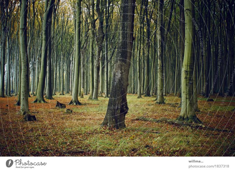 The Eye Tree Gemini. Forest Beech wood Ghost forest Nienhagen beech tribes Deciduous forest Nature Autumnal Colour photo Exterior shot