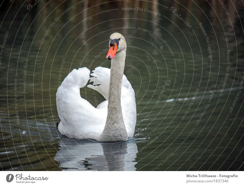 Proud Swan Nature Animal Water Sunlight Pond Lake Wild animal Bird Animal face Wing Feather Beak 1 Observe Swimming & Bathing Esthetic Threat Elegant Near