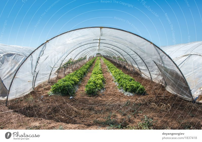 Strawberries in green house. Fruit House (Residential Structure) Garden Nature Plant Tree Leaf Growth Fresh Green Red Strawberry Farm agriculture Greenhouse