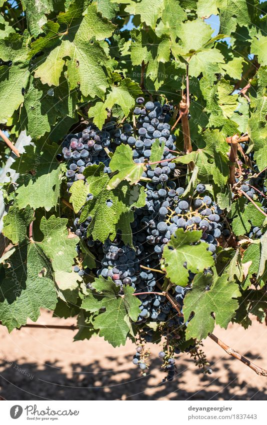Red wine grapes. Nature Plant Blue Leaf Autumn Fruit Growth Fresh Spain Harvest Rural Valley Vineyard Bunch of grapes Purple