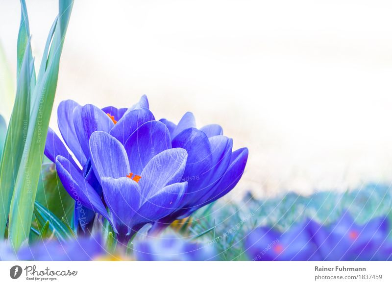 "blue crocuses with flowering flowers Environment Nature Plant Spring Blossom Park Meadow Joy Happy Happiness ""Crocus Easter blossoms Isolated Image optional"""