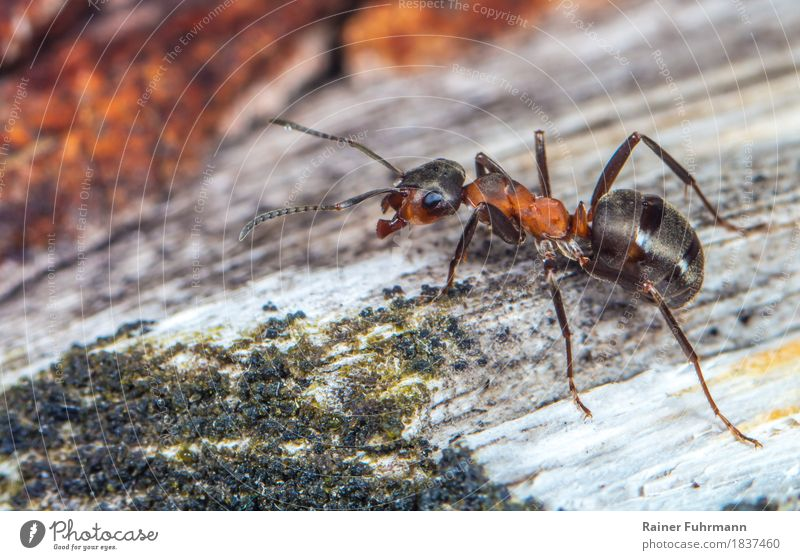 """a red wood ant running along a tree trunk Nature Animal """"Insect Waldameise Ant"""" 1 Threat Small Cute Diligent Disciplined Endurance Unwavering Orderliness"""