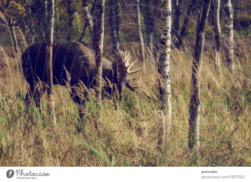 elk test Autumn Grass Forest Animal Wild animal To feed Elk Bull Moose Birch wood Norway Scandinavia Antlers Shovel Birch tree Colour photo Subdued colour