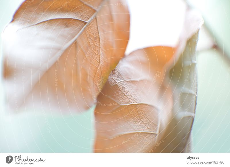 autumn leaves Colour photo Macro (Extreme close-up) Abstract Structures and shapes Deserted Neutral Background High-key Blur Autumn Plant Leaf Brown Green White