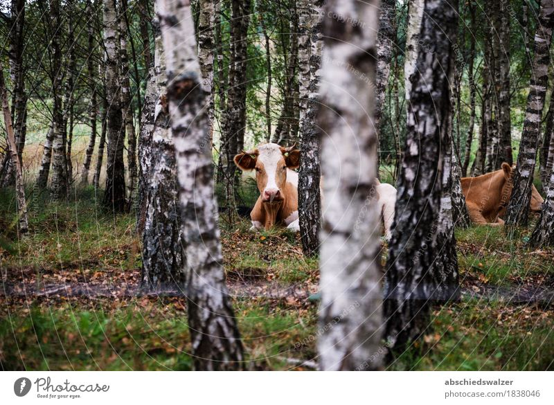 Gazing Cow Animal Far-off places Forest Natural Esthetic Authentic Simple Observe Safety Animal face Interest Peaceful Secrecy Acceptance Paddock