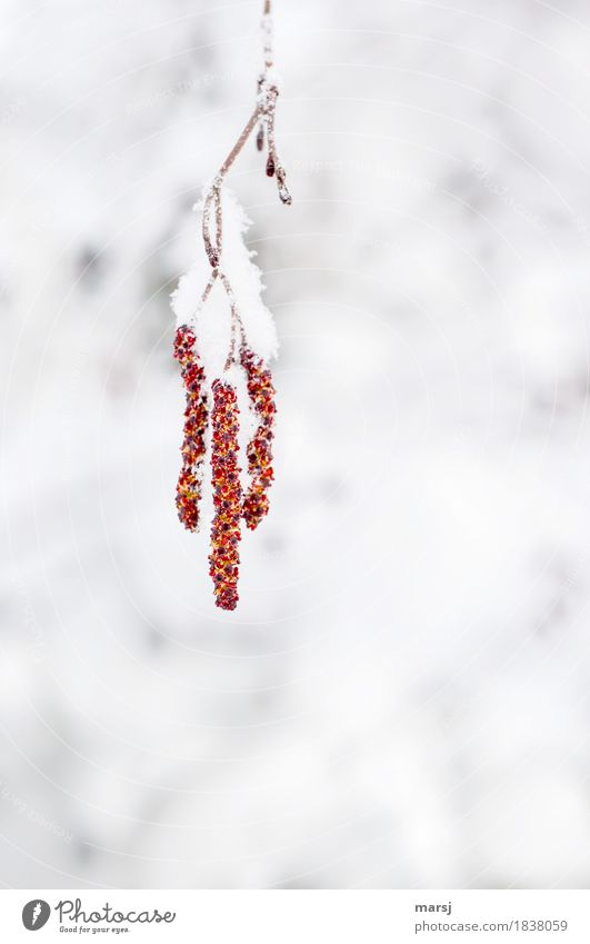 hang out Nature Winter Ice Frost Snow Snowfall birch catkin Hang Together Cuddly Red Hope 3 Cold Branch Colour photo Multicoloured Exterior shot Close-up