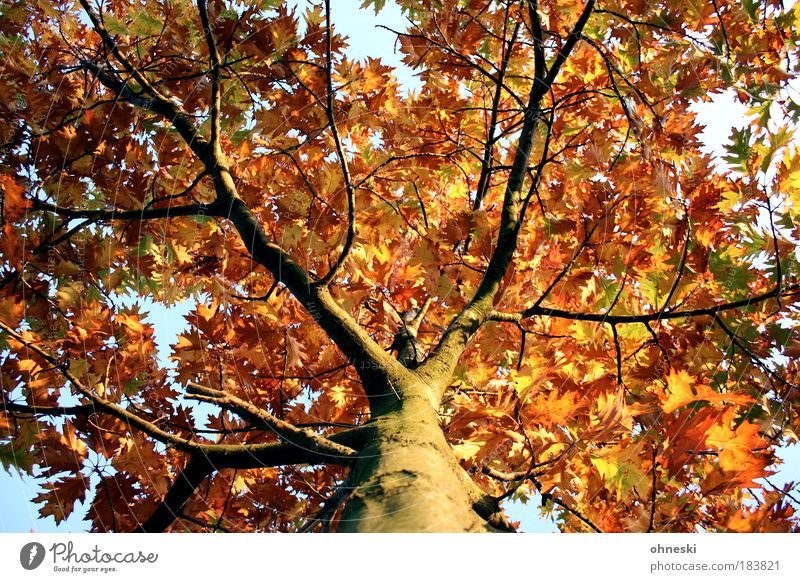 crown Colour photo Exterior shot Day Light Shadow Contrast Sunlight Worm's-eye view Environment Nature Plant Autumn Beautiful weather Tree Leaf Yellow Gold