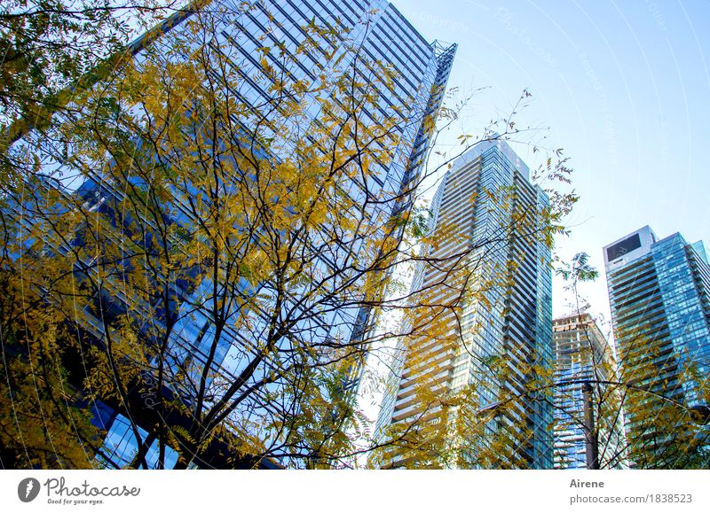autumn yellow before bluish tint Autumn Beautiful weather Tree Autumn leaves Town Skyline High-rise Facade Concrete Glass Steel Living or residing Gigantic Tall