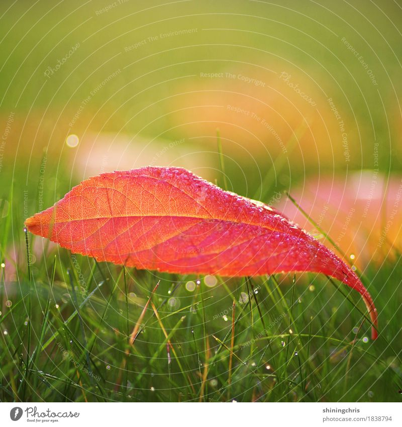 red october Nature Drops of water Autumn Beautiful weather Grass Leaf Meadow Lie Warmth Green Red Colour photo Exterior shot Close-up Copy Space left