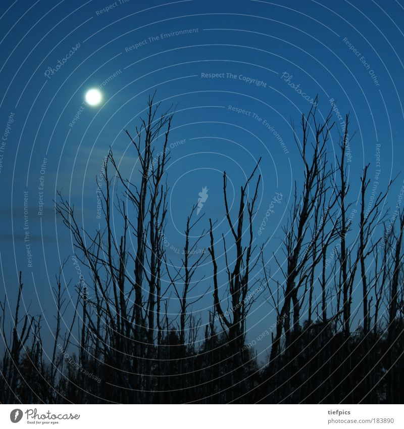 birch forest. Copy Space top Night Nature Sky Clouds Moon Tree Forest Bog Marsh Blue Birch tree Moonlight Tree stump Nature reserve National Park Night mood