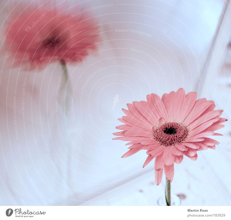 reflection Flower Fragrance Cold Gerbera Blossom Pink Mirror Reflection Natural Plant Light Bright Beautiful Delicate Styling Colour photo Close-up High-key