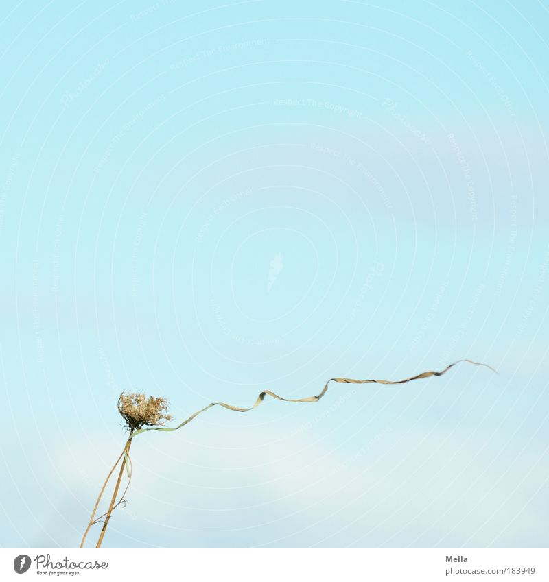 wind Environment Nature Plant Air Sky Climate Weather Wind Grass Wild plant Meadow Field Faded To dry up Bright Natural Blue Moody Ease Transience Judder Easy