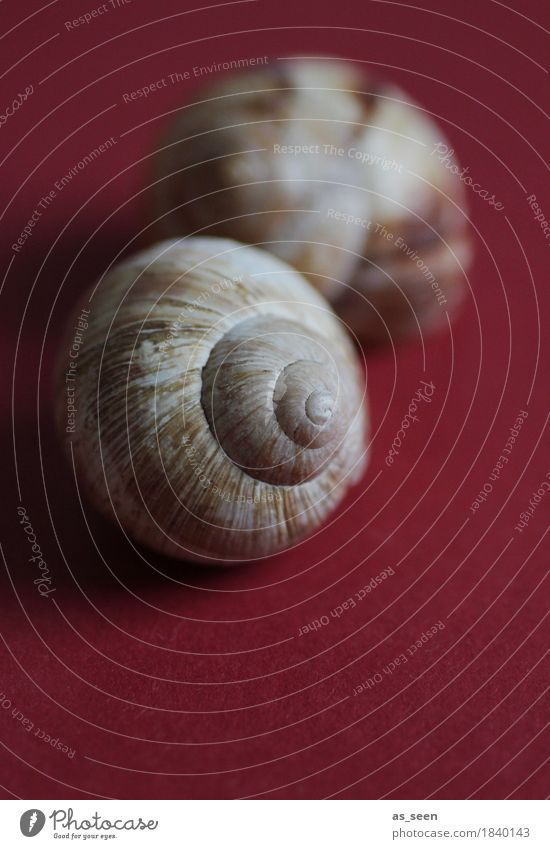 snail shell Calm Meditation Decoration Nature Animal Autumn Snail Snail shell Vineyard snail Souvenir Lie Dark Exotic Round Brown Red Emotions Protection