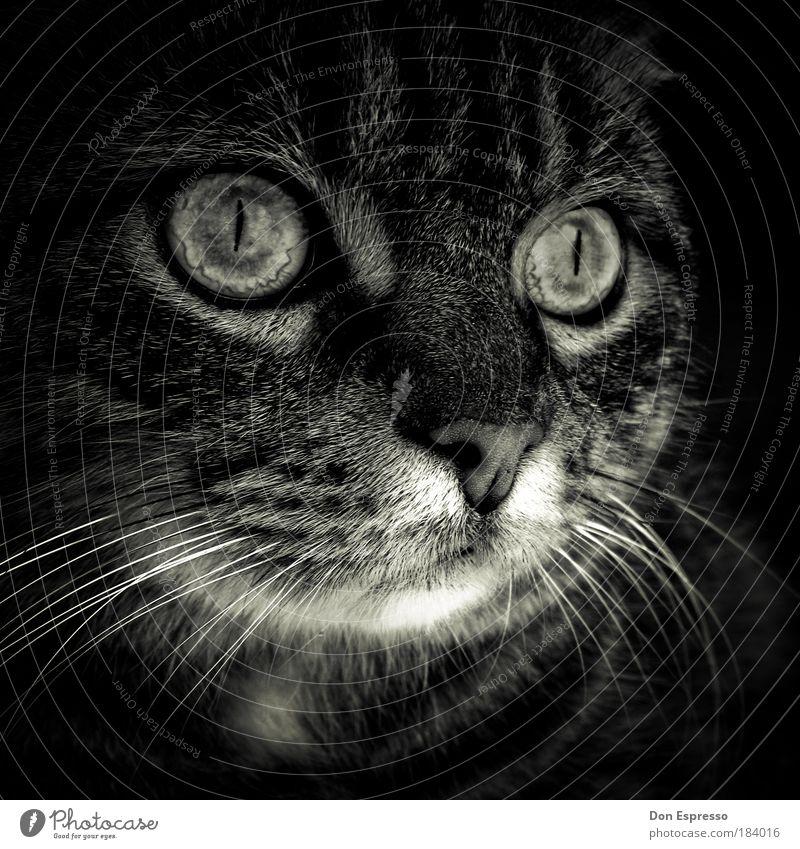 Elvis Animal Pet Cat Animal face Pelt 1 Looking Dream Sadness Esthetic Dark Cute Soft Gray Emotions Moody Safety (feeling of) Warm-heartedness Love of animals