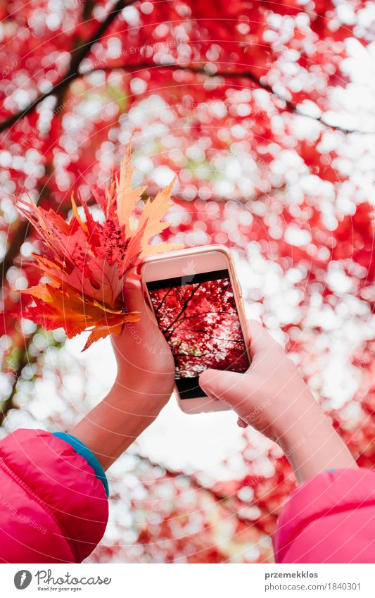 Taking a photo of brilliant red autumnal tree with smartphone Beautiful Garden Telephone PDA Screen Hand Nature Autumn Tree Leaf Park Bright Red Colour Autumnal
