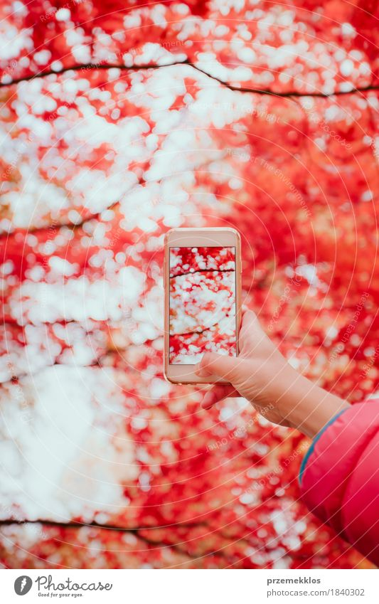 Taking a photo of brilliant red autumnal tree with smartphone Beautiful Garden Telephone Cellphone PDA Screen Hand Nature Autumn Tree Leaf Park Bright Red