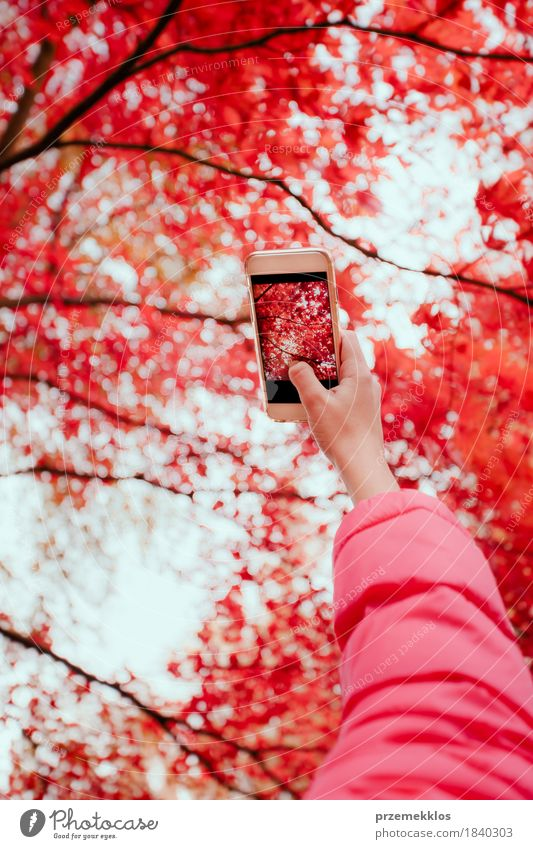 Taking a photo of brilliant red autumnal tree with smartphone Beautiful Garden Telephone Cellphone Screen Hand Nature Autumn Tree Leaf Foliage plant Park Bright