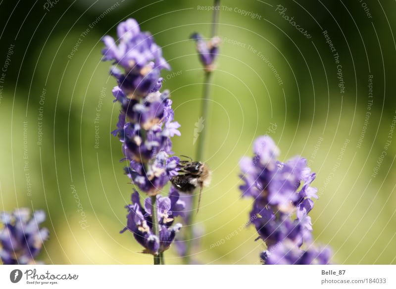 Green Animal Environment Flying Gold Target Violet Blossoming Bee Appetite Fragrance Macro (Extreme close-up) Interest Thirst Love of animals