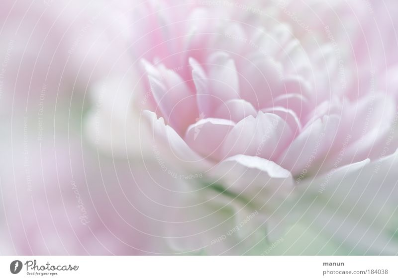 Nature Beautiful Plant Flower Relaxation Autumn Spring Bright Park Pink Macro (Extreme close-up) Elegant Design Fresh Light Delicate