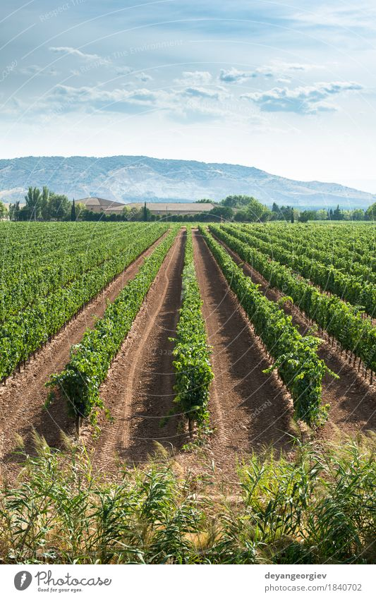 Vineyards in a rows and winery Nature Green Landscape Europe Italy Industry Farm Harvest Africa Agriculture South Rural Valley Italian Bunch of grapes