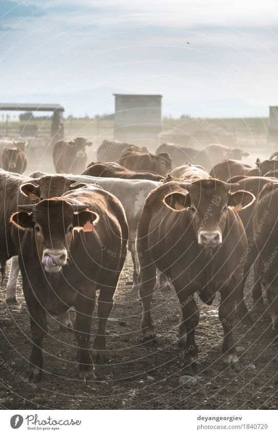 Calves in farm for veal Nature Summer Green Animal Meadow Grass Pasture Farm Agriculture Cow Mammal Meat To feed Rural Large-scale holdings Cattle