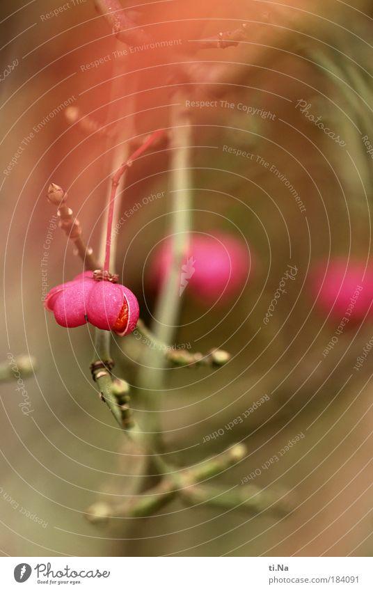 Nature Plant Environment Landscape Autumn Park Pink Climate Wild Growth Bushes Hang Wild plant Common spindle