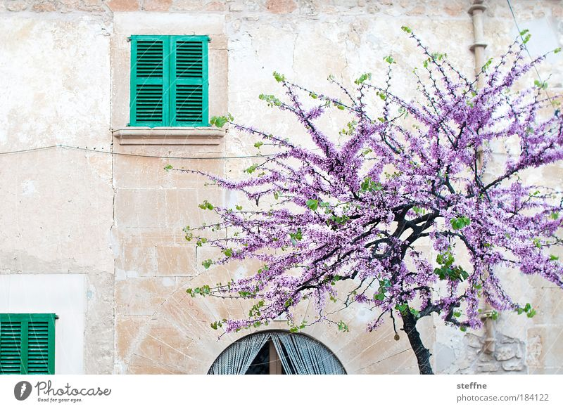 Beautiful Tree Window Wall (building) Wall (barrier) Spring Plant Esthetic Idyll Italy Village Blossoming Beautiful weather Joie de vivre (Vitality) Spain France