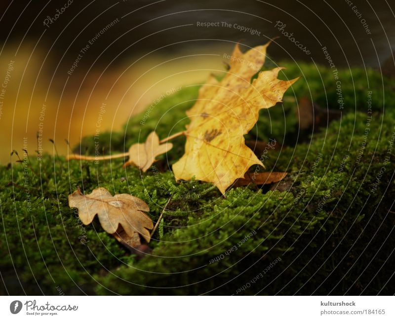 foliage on moss bed Colour photo Exterior shot Detail Shallow depth of field Nature Autumn Rain Leaf Brown Yellow Gold Green Calm Day