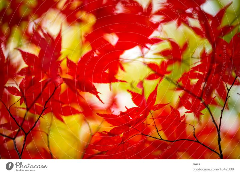 colour play Autumn variegated foliage Japan maple tree Red Green