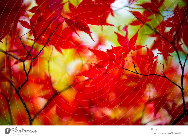 Color play . . Autumn variegated foliage Japan maple tree Red Green