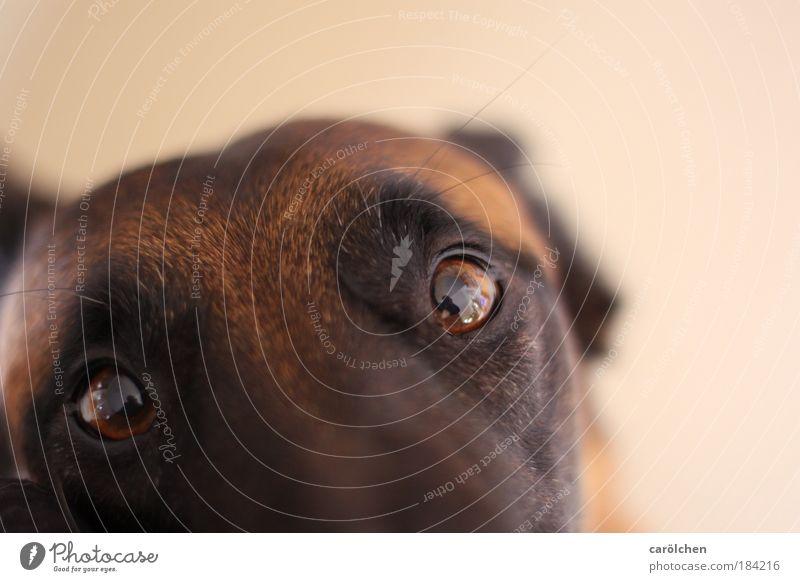 Dog Animal Eyes Sadness Brown Desire Communicate Attachment Pet Soul Loyalty Loyal Companion Bird's-eye view Puppydog eyes Dog's head