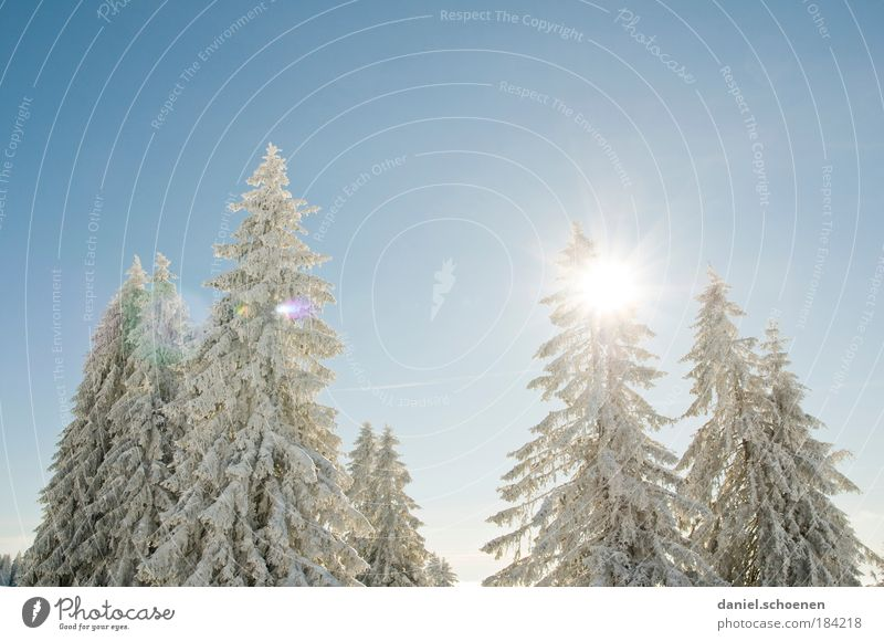 snow white light blue Copy Space top Sunlight Sunbeam Back-light Nature Plant Air Cloudless sky Winter Beautiful weather Snow Pure Fir tree White Blue