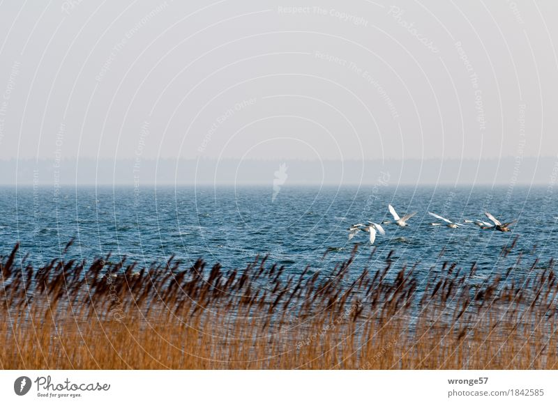 Nature Blue White Landscape Animal Coast Gray Brown Flying Bird Waves Wild animal Group of animals Baltic Sea Swan Flock of birds