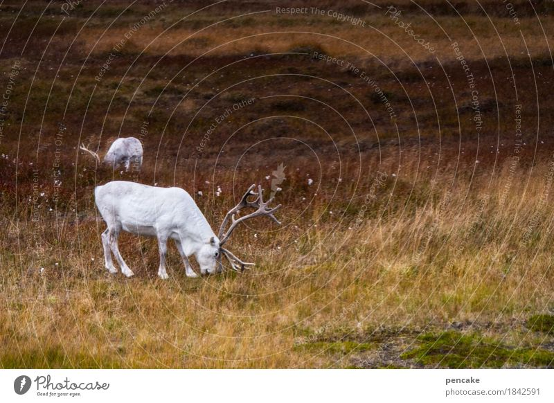 Nature Christmas & Advent White Landscape Animal Autumn Exceptional Wild Wild animal Esthetic Pelt Santa Claus To feed Antlers Nordic Norway