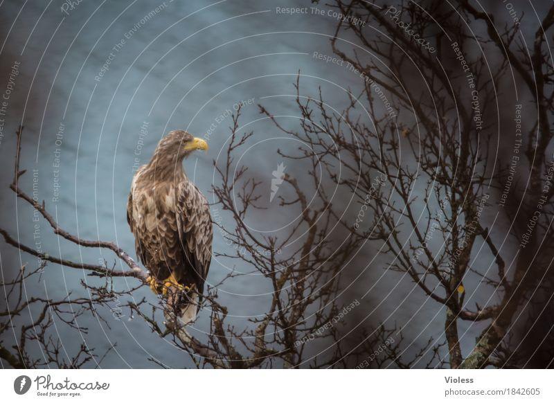 aquila Nature Coast Fjord Wild animal Bird Eagle golden eagles 1 Animal Observe Brown Power free wilderness Bird of prey Norway Blur Animal portrait