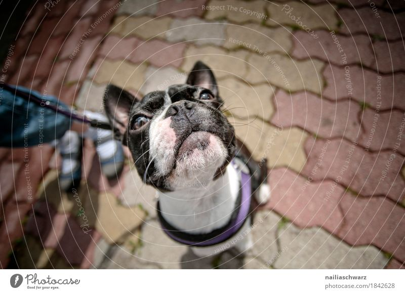 Boston Terrier Portrait Joy Child Legs Animal Pet Dog Animal face French Bulldog 1 Baby animal Observe Study Looking Wait Brash Friendliness Happiness Happy
