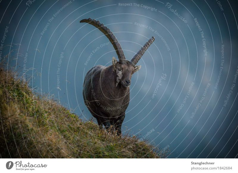 Nature Animal Winter Mountain Grass Wild animal Observe Adventure Cool (slang) Alps Strong Austria Antlers Pride Capricorn Forest of Bregenz