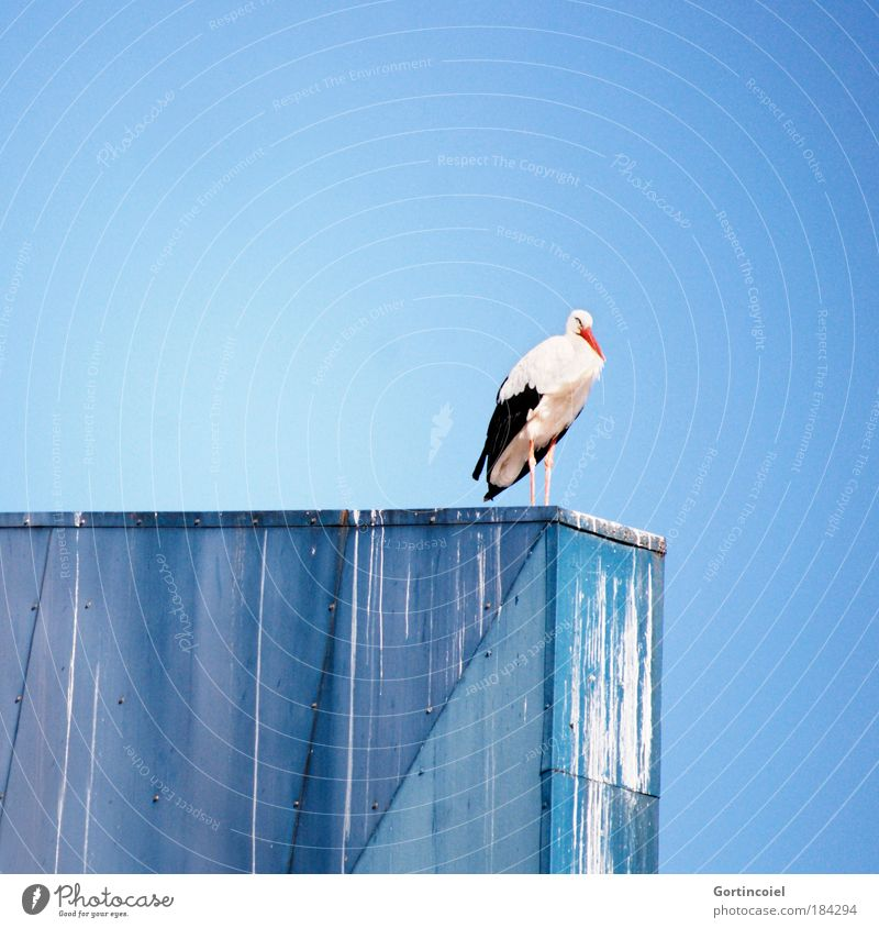 Stork on Blue Animal Air Sky Cloudless sky Summer Beautiful weather Wild animal Bird Wing Migratory bird 1 Colour Freedom Rest Clear sky Offspring Birth