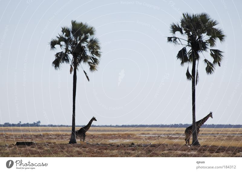Under palm trees Subdued colour Exterior shot Copy Space top Copy Space middle Day Landscape Tree Grass Palm tree Plain Wild animal Giraffe 2 Animal Baby animal