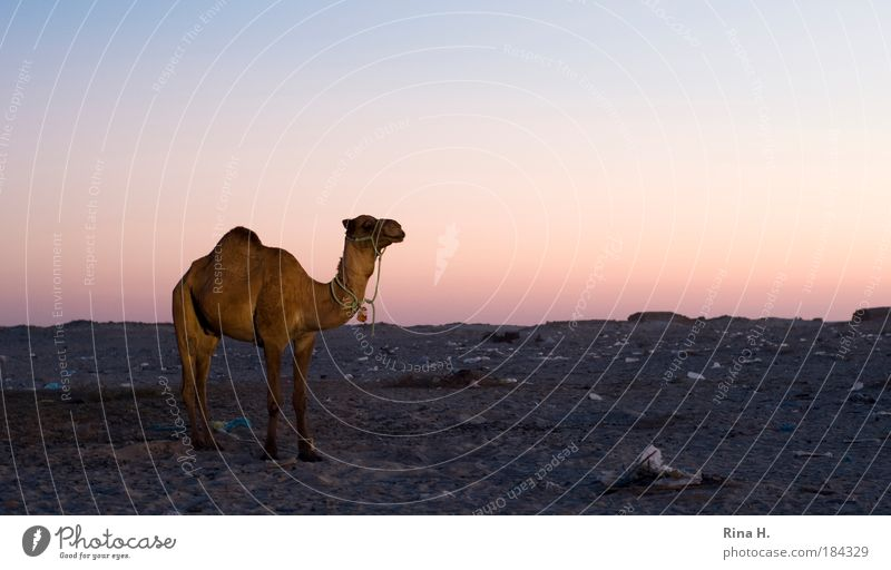 Nature Animal Sand Warmth Camel Landscape Wait Dirty Poverty Environment Earth Arrangement Adventure Stand Twilight Trash